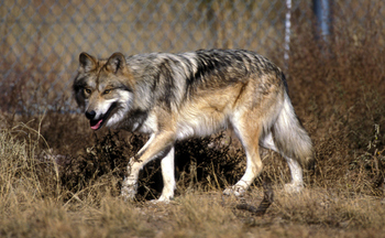 Federal Fish and Wildlife Service officials say two endangered Mexican wolves died during annual capture-and-count operations this year. (U.S. Fish and Wildlife Service)