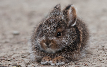 Shorter winters are making Pennsylvania uninhabitable for the snowshoe hare, according to a new report. (National Wildlife Federation)