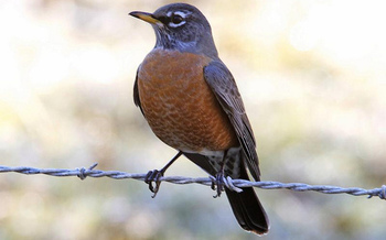 Robins are among the birds that will be observed in Michigan during the Great Backyard Bird Count. (Lip Kee/Flickr)