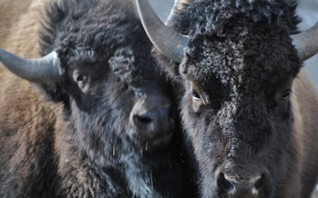 Protestors are marching in southeastern Montana all week to protest the planned slaughter of about 900 wild Yellowstone Bison by the National Park Service. (Buffalo Field Campaign)