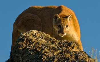 The Arizona Game and Fish Department says the state�s estimated population of 25-hundred to three-thousand mountain lions is not endangered or scarce. (Corinna Stoeffl/Pixabay)
