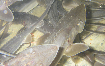 Conservation groups are fighting to remove a dam in Southeastern Montana in order to save the endangered pallid sturgeon. (U.S. Fish and Wildlife Service)
