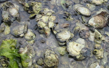 Oysters are only at 1 percent of historic levels in the Chesapeake Bay. (National Oceanic and Atmospheric Administration)