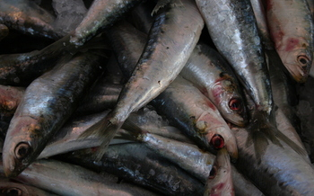 The sardine population is continuing to collapse, according to a new assessment by the National Oceanic and Atmospheric Administration.(jasonwebber01/morguefile)