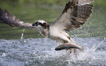 Millions of dollars are heading to Illinois wildlife projects, including saving the endangered osprey. (iStockphoto)