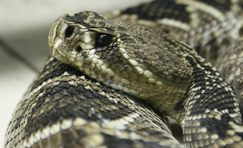 The conservation group Advocates for Snake Preservation is trying to stop the mass killing of rattlesnakes at roundup festivals each spring across the South and Southwest. (Wikimedia Commons)