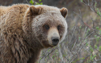 Conservation groups and indigenous tribes are gearing up to oppose the U.S. Fish and Wildlife Service's plans to remove Yellowstone Park grizzly bears from the endangered species list.