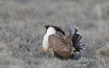 A new poll shows a majority of Colorado voters who live in the heart of Gunnison sage-grouse range favor Endangered Species Act protections. (U.S. Fish and Wildlife Service.)