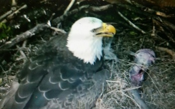 The birth of two baby bald eagles at the National Arboretum has sparked interest in America's national bird, and they can be spotted around the Chesapeake Bay. (Veronica Carter)