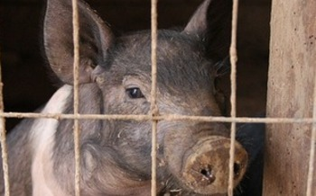 Opponents say a proposed pork-processing factory farm in Mason City would threaten the environment and public health. (Pixabay)