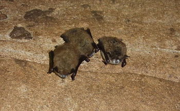 White-nose syndrome has killed nearly 7 million bats since it was discovered in New York in 2006. (Terry Derting/Kentucky Department of Fish and Wildlife Services)