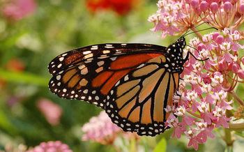 A monarch butterfly feeds on flowers of the Swamp Milkweed. In Iowa, ISU is doing research to reintroduce milkweed, the only plant where monarchs will lay eggs. (DRamsey/Wikimedia Commons)
