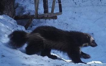 The U.S. Fish and Wildlife Service may have to reconsider its decision not to list the wolverine as an endangered species, in light of a recent court ruling. (Conservation Northwest Citizens Wildlife Monitoring Project)