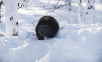A federal court ruled that the U.S. Fish and Wildlife Service violated the Endangered Species Act when it decided not to protect the wolverine. (JohnDPorter/iStockphoto)