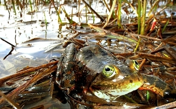 The spotted frog's critical habitat includes parts of Klickitat, Skagit, Skamania, Thurston and Whatcom counties in Washington. (U.S. Fish and Wildlife Service)