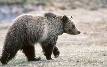 Today is the deadline to submit public comments on a proposal to take the Yellowstone Grizzly off the endangered species list. (Kim Keating/USGS)