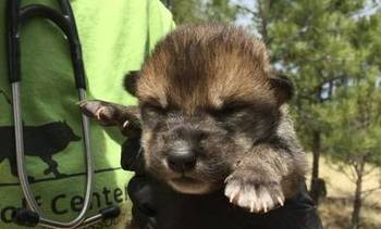 Two Mexican Gray Wolf pups were raised in Missouri, and put in a den in New Mexico. Biologists won't know for several months whether they survived. (Endangered Wolf Center)