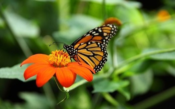 Michigan is working to restore habitats for the Monarch butterfly, along with other troubled pollinators. (cohda/Morguefile)