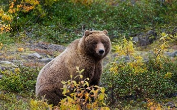 A Montana bear expert will share his expertise at an international conference on bears this week in Alaska. (skeeze/pixabay)