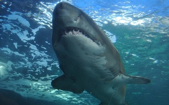 Some people believe payday loan sharks should be feared just as much as those swimming in the ocean. (Valdek/Pixabay)