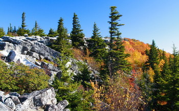 Highland Appalachian spruce can help reduce the amount of carbon in the air. (Forest Wander/Wikipedia)