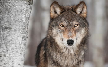 The U.S. House voted to de-list the Gray Wolf from the Endangered Species list. (deborahcat/iStockphoto)