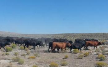 Cattle graze near Elko, Nev. Plans to transfer federal public lands to states are part of the GOP platform.(ravenking99/morguefile)
