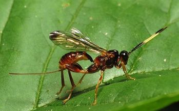 Ant-sized parasitic wasps are helping reduce emerald ash borers threatening millions of trees throughout Iowa. (Katja Schulz/Wikimedia Commons)