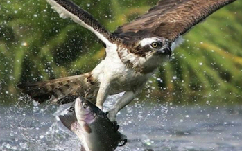 Ospreys are being reintroduced in Iowa, thanks to joint efforts with naturalists in Minnesota. (IowaDNR.org)
