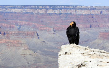 The Sierra Club is disputing the Arizona Game and Fish Department�s claim that Grand Canyon uranium mining isn�t harmful to the endangered California condor. (kojohirano/iStockphoto)