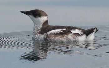 There are about 1,100 Marbled Murrelets left in Oregon, according to U.S. Fish and Wildlife Service numbers from 2014. (Martin Raphael/U.S. Forest Service)