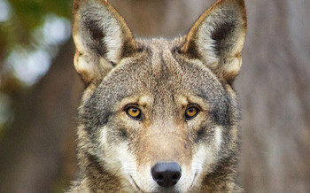 Red wolf populations have been reduced in recent years because of policy changes, hunting and human threats. (B. Bartel/USFWS)