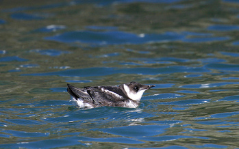 There are about 7,500 marbled murrelets left in Washington state. (U.S. Fish and Wildlife Service)