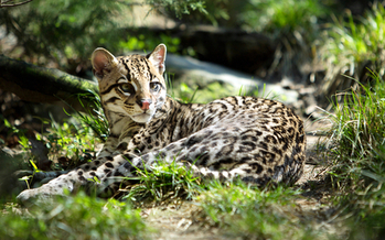 The U.S. Fish and Wildlife Service has released a long-term recovery plan for the endangered ocelot. (eli77/iStockphoto)