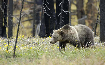 The Interagency Grizzly Bear Study Team estimates there are about 700 bears in the Greater Yellowstone Ecosystem. (Terry Tollefsbol/USFWS)