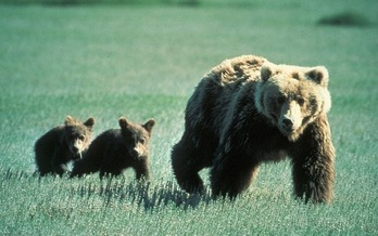 The Interagency Grizzly Bear Study Team estimates there are about 700 bears in the Greater Yellowstone Ecosystem. (Pixabay)