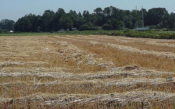 Adding a small grain such as oats as a third cash crop brings environmental and economic benefits. <br />(B.G.Z Olson/Flickr)