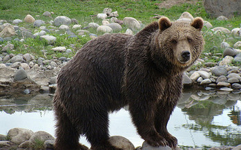 The Interagency Grizzly Bear Study Team estimates there are about 700 bears in the Greater Yellowstone ecosystem. (Ny/flickr)