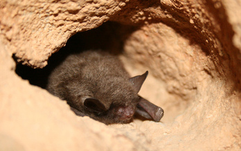It isn't only humans affected by pollution. The Indiana bat is one of many species threatened by contaminated air, water and soil from oil and gas operations. (U.S. Fish & Wildlife Service)