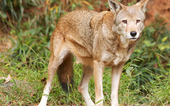 The U.S. Fish and Wildlife Service is planning to move red wolves from private lands to public lands, which experts say could affect the future of the species. (B. Bartel/USFWS)