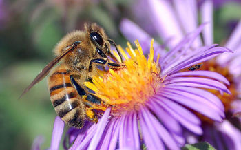 Passage of a bill to protect pollinator habitat was a victory for Connecticut's environment. (John Severns/Wikimedia Commons)