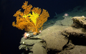 Scientists have documented more than 70 species of coral in the national monument area. (NOAA)