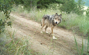 Killing predators such as the Northern Rockies gray wolf may do little to reduce livestock losses, according to a new study. (Washington Department of Fish and Wildlife)