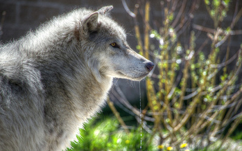 A new study shows that killing predators such as the Northern Rockies gray wolf may not reduce livestock losses. (Ed Coyle/Flickr)