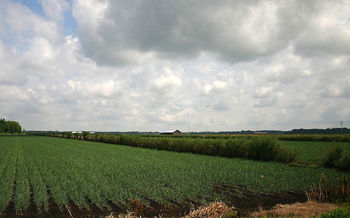 An estimated 95 percent of onions grown in New York are treated with the pesticide chlorpyrifos. (Pollinator/Wikimedia Commons)