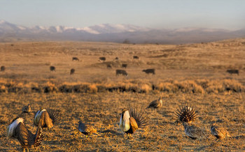 Hunters and sportsmen are asking their delegations in Congress to support the BLM's sage-grouse conservation plans that were finalized last year. (USDA/Flickr)