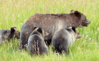 Friday is the last day for public comments on Wyoming's plans to manage Yellowstone grizzly populations. (USFWS)