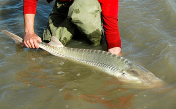 There are only about 125 pallid sturgeon left in the lower Yellowstone River. (USFWS Mountain-Prairie)