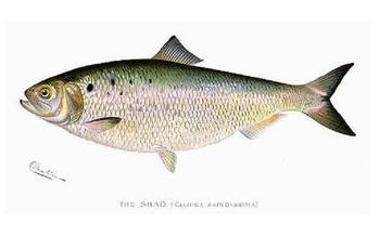 The shad, an iconic fish in Virginia, has been denied saltwater protections. (Shermon Foote Denton)