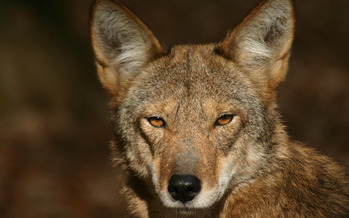 Red wolves are being mistaken by some hunters for coyotes, a problem made worse as deer season picks up in North Carolina. (Land Between the Lakes/flickr.com)